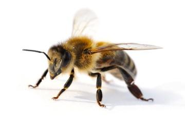 Afrikanisierte Honigbiene