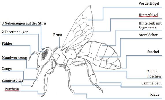 Die Arbeitsbiene die Arbeiterin im Bienenvolk